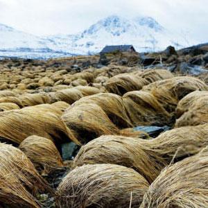 donald-trump-hair-growing-prairie-dropseed-tromso-norway-thumb